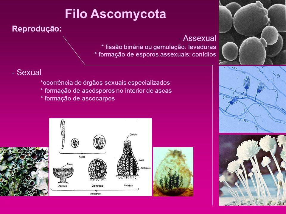 Filo Ascomycota Reprodução: - Assexual * fissão binária ou gemulação: leveduras * formação de esporos assexuais: conídios - Sexual *ocorrência de órgã