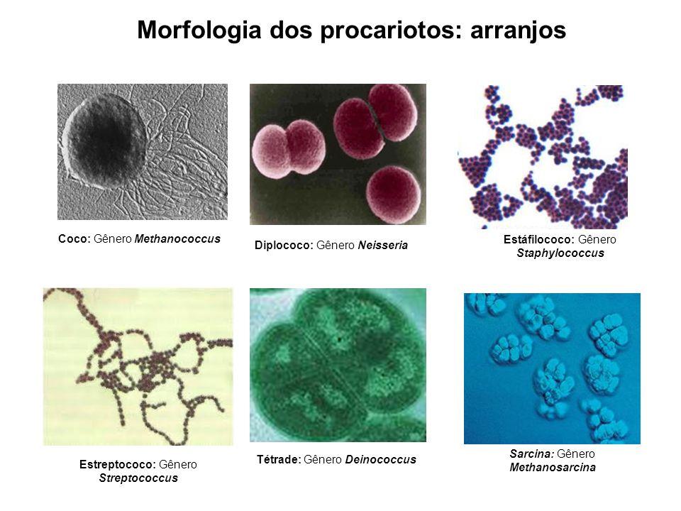 Morfologia dos procariotos: arranjos Estreptococo: Gênero Streptococcus Estáfilococo: Gênero Staphylococcus Coco: Gênero Methanococcus Sarcina: Gênero