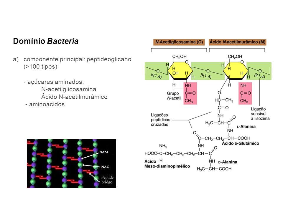 Domínio Bacteria a)componente principal: peptideoglicano (>100 tipos) - açúcares aminados: N-acetilglicosamina Ácido N-acetilmurâmico - aminoácidos