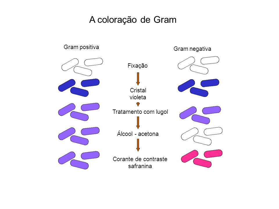 A coloração de Gram Gram negativa Gram positiva Fixação Cristal violeta Tratamento com lugol Álcool - acetona Corante de contraste safranina
