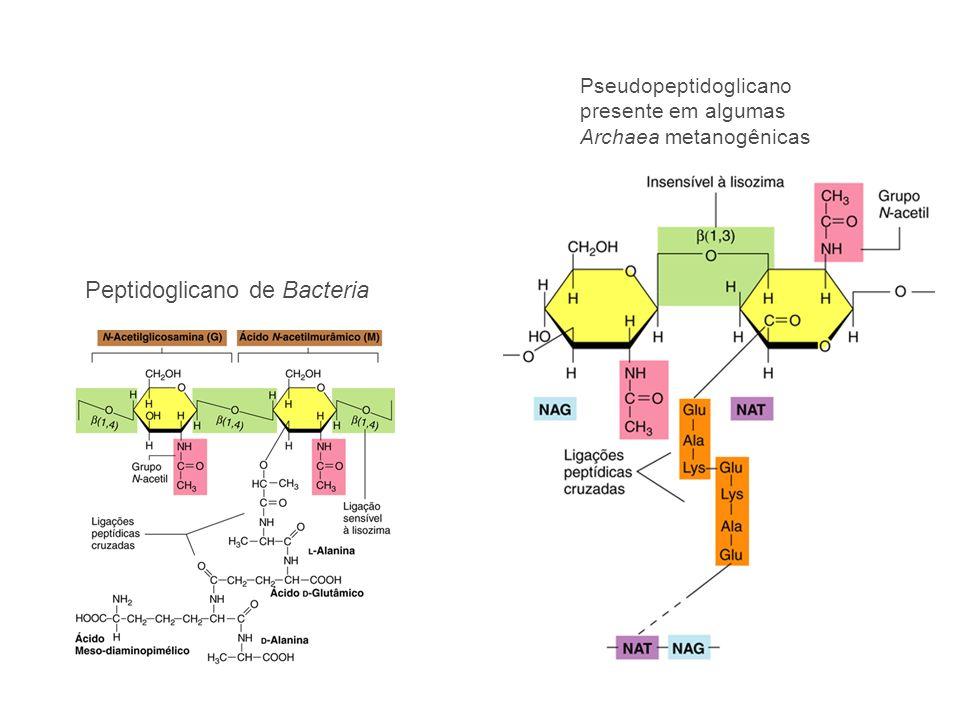 Pseudopeptidoglicano presente em algumas Archaea metanogênicas Peptidoglicano de Bacteria