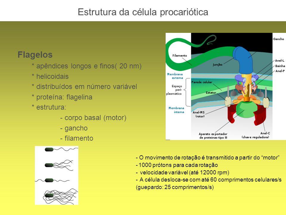Estrutura da célula procariótica Flagelos * apêndices longos e finos( 20 nm) * helicoidais * distribuídos em número variável * proteína: flagelina * e