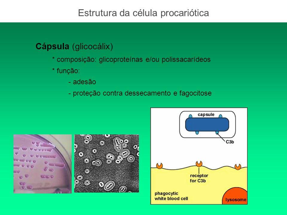 Cápsula (glicocálix) * composição: glicoproteínas e/ou polissacarídeos * função: - adesão - proteção contra dessecamento e fagocitose Estrutura da cél