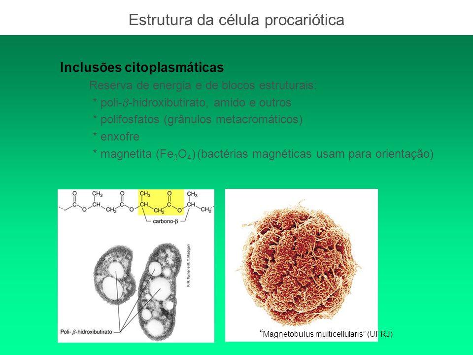 Inclusões citoplasmáticas Reserva de energia e de blocos estruturais: * poli- -hidroxibutirato, amido e outros * polifosfatos (grânulos metacromáticos