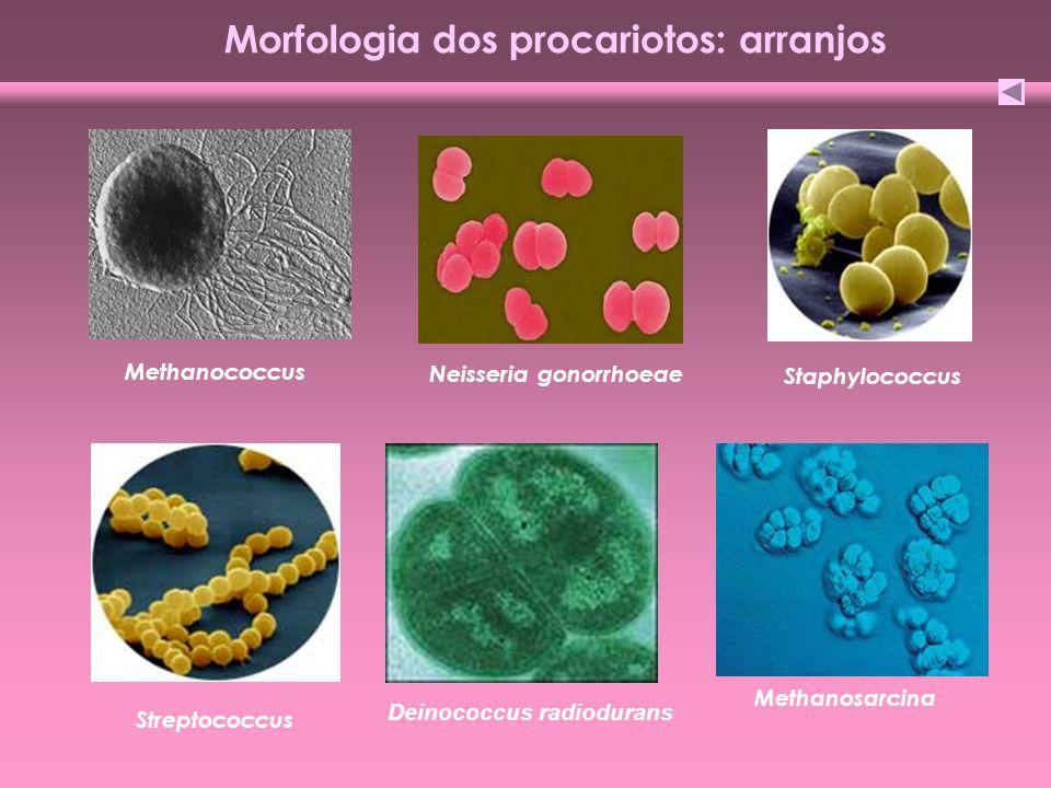 Morfologia dos procariotos: arranjos Streptococcus Staphylococcus Methanococcus Methanosarcina Deinococcus radiodurans Neisseria gonorrhoeae