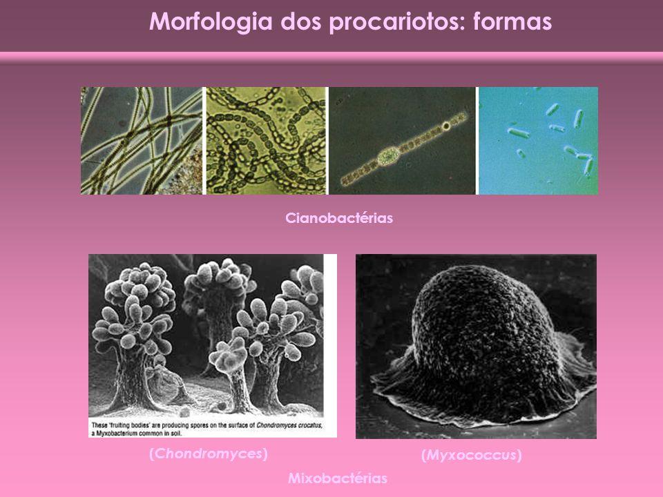 Morfologia dos procariotos: formas Cianobactérias ( Chondromyces ) ( Myxococcus ) Mixobactérias