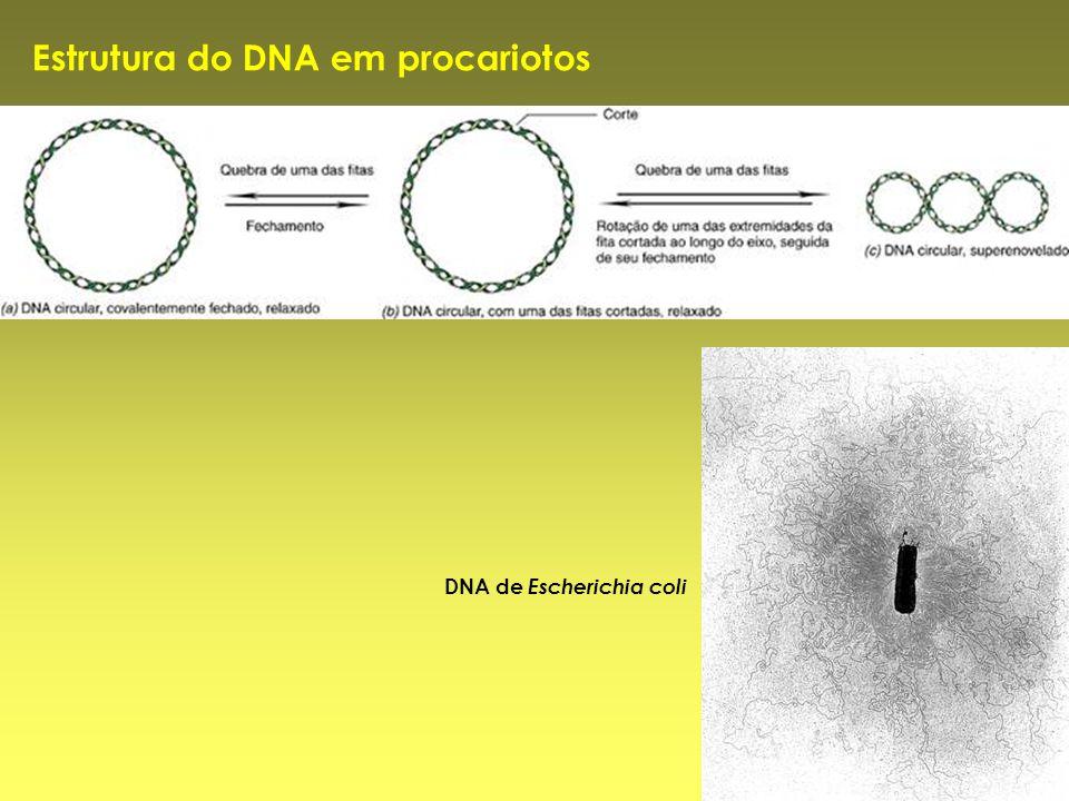 Estrutura do DNA em procariotos DNA de Escherichia coli