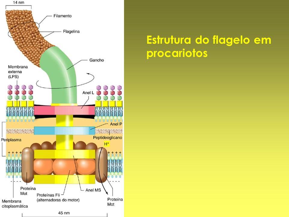 Estrutura do flagelo em procariotos