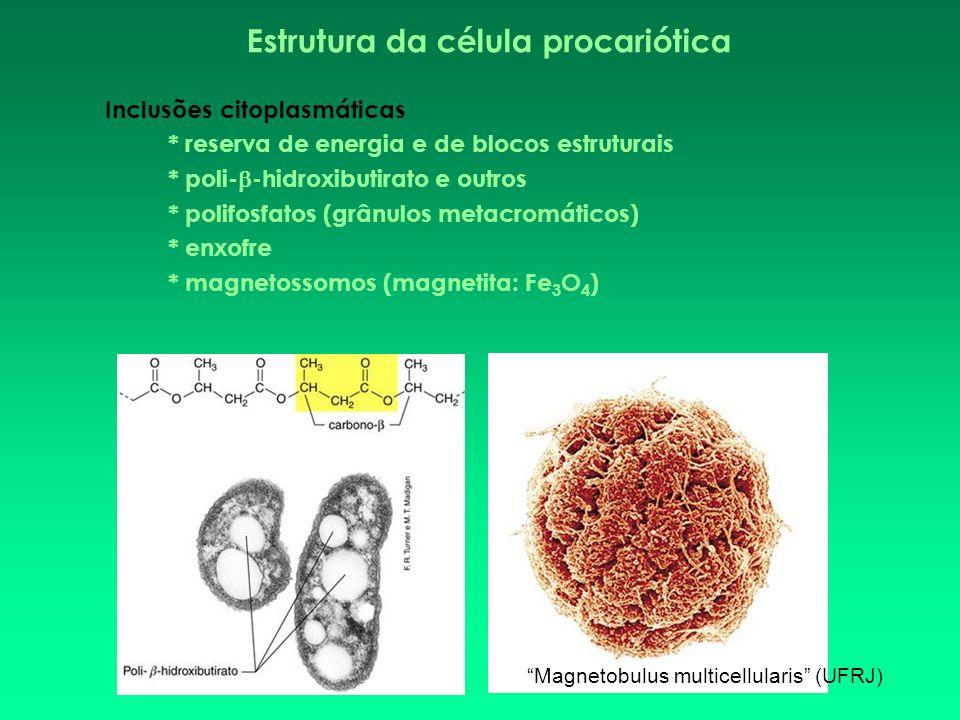 Estrutura da célula procariótica Inclusões citoplasmáticas * reserva de energia e de blocos estruturais * poli- -hidroxibutirato e outros * polifosfat