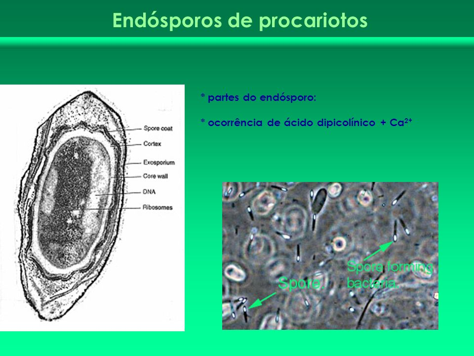 * partes do endósporo: * ocorrência de ácido dipicolínico + Ca 2+