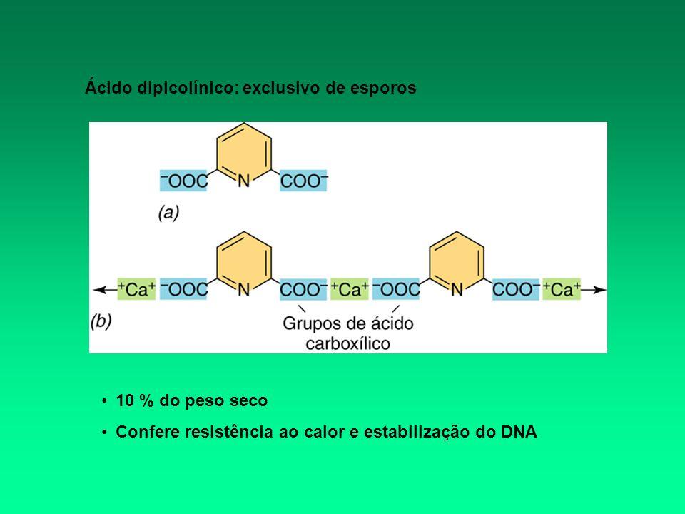 10 % do peso seco Confere resistência ao calor e estabilização do DNA Ácido dipicolínico: exclusivo de esporos