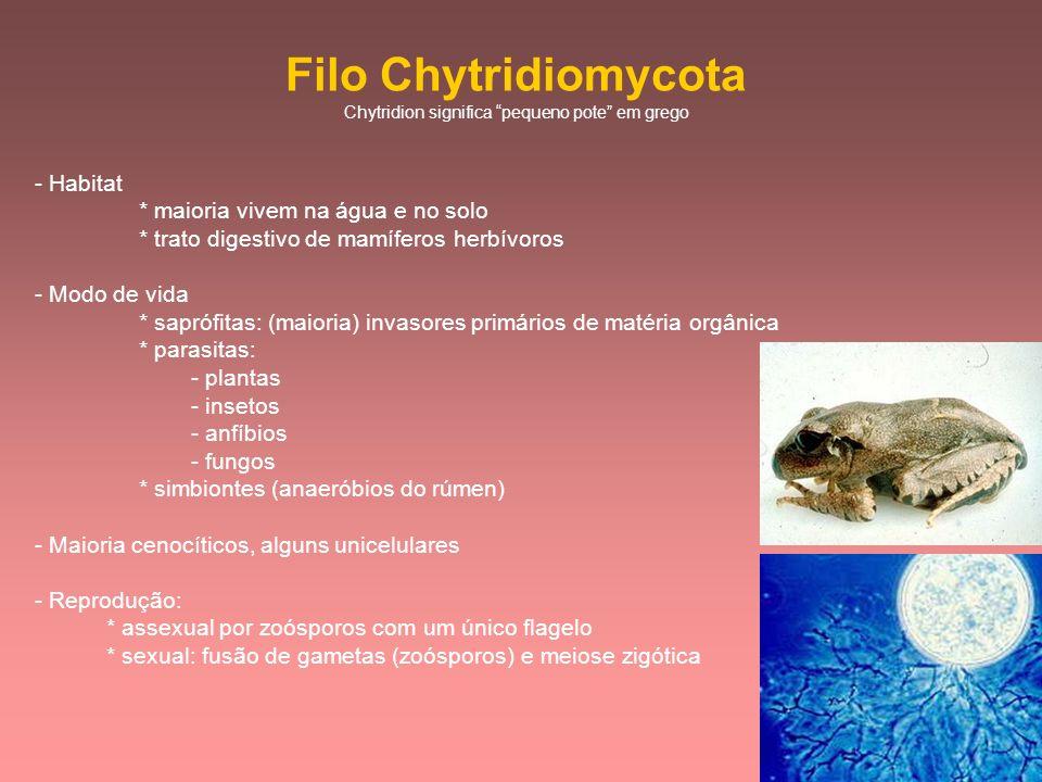 Filo Chytridiomycota Chytridion significa pequeno pote em grego - Habitat * maioria vivem na água e no solo * trato digestivo de mamíferos herbívoros