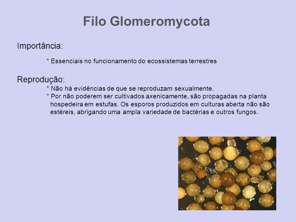 Filo Glomeromycota Importância: * Essenciais no funcionamento do ecossistemas terrestres Reprodução: * Não há evidências de que se reproduzam sexualme