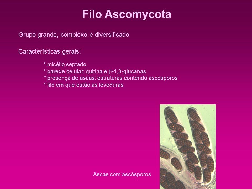 Filo Ascomycota Grupo grande, complexo e diversificado Características gerais : * micélio septado * parede celular: quitina e -1,3-glucanas * presença