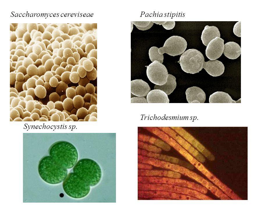 Saccharomyces cereviseaePachia stipitis Trichodesmium sp. Synechocystis sp.