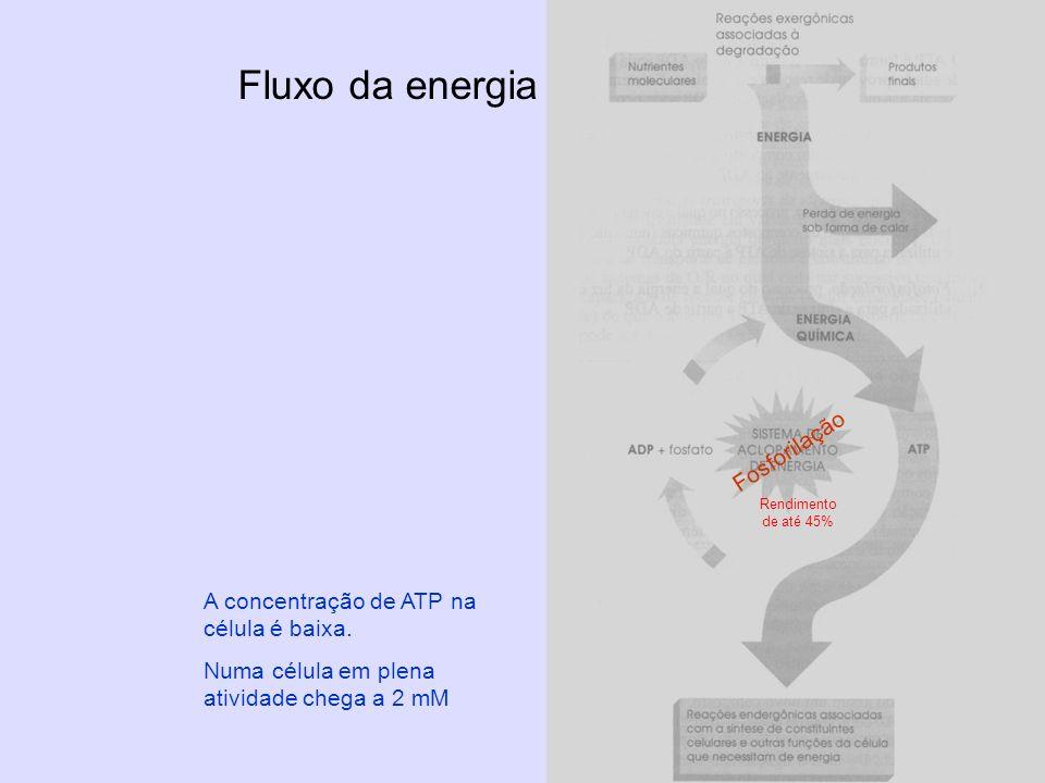 Fluxo da energia A concentração de ATP na célula é baixa. Numa célula em plena atividade chega a 2 mM Rendimento de até 45% Fosforilação
