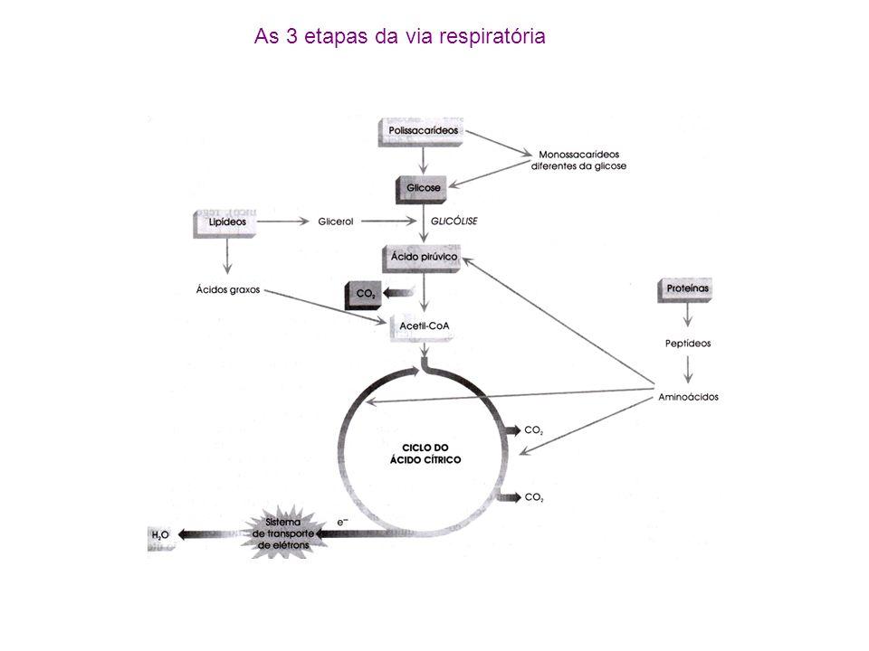 As 3 etapas da via respiratória