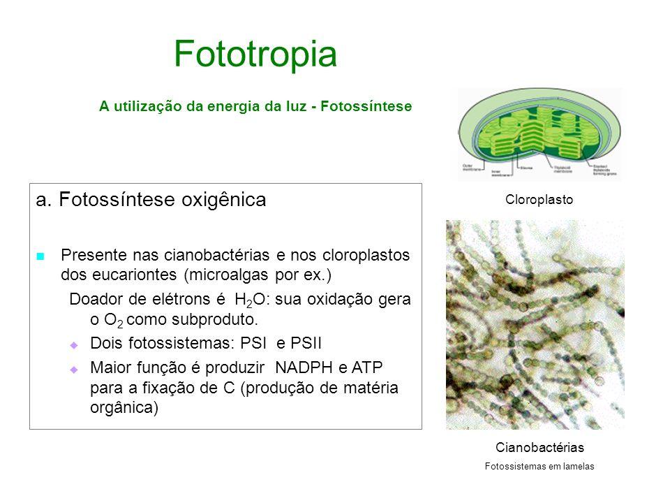 Fototropia A utilização da energia da luz - Fotossíntese a. Fotossíntese oxigênica Presente nas cianobactérias e nos cloroplastos dos eucariontes (mic