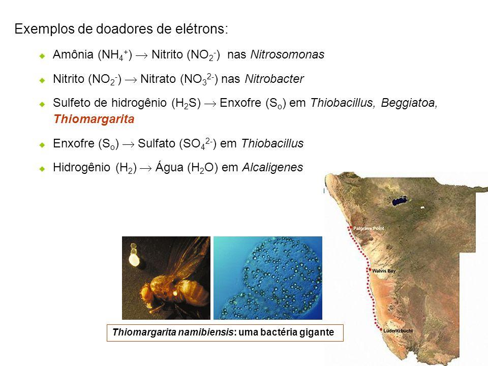 Exemplos de doadores de elétrons: Amônia (NH 4 + ) Nitrito (NO 2 - ) nas Nitrosomonas Nitrito (NO 2 - ) Nitrato (NO 3 2- ) nas Nitrobacter Sulfeto de