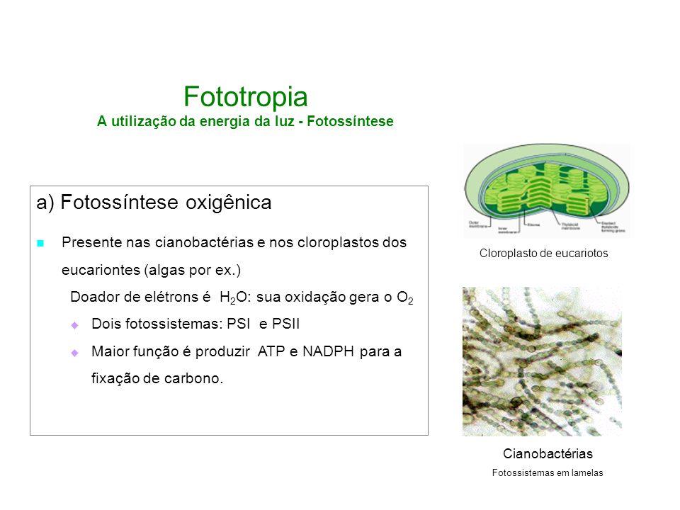 Fototropia A utilização da energia da luz - Fotossíntese a) Fotossíntese oxigênica Presente nas cianobactérias e nos cloroplastos dos eucariontes (alg