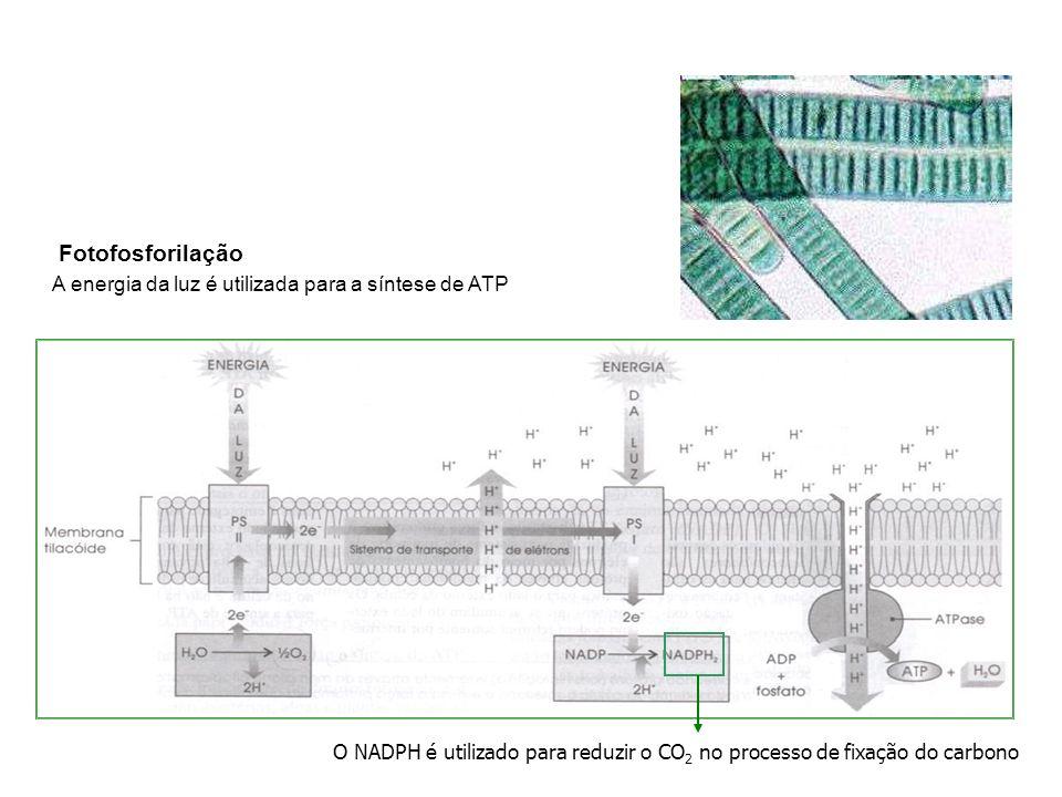 O NADPH é utilizado para reduzir o CO 2 no processo de fixação do carbono Fotofosforilação A energia da luz é utilizada para a síntese de ATP