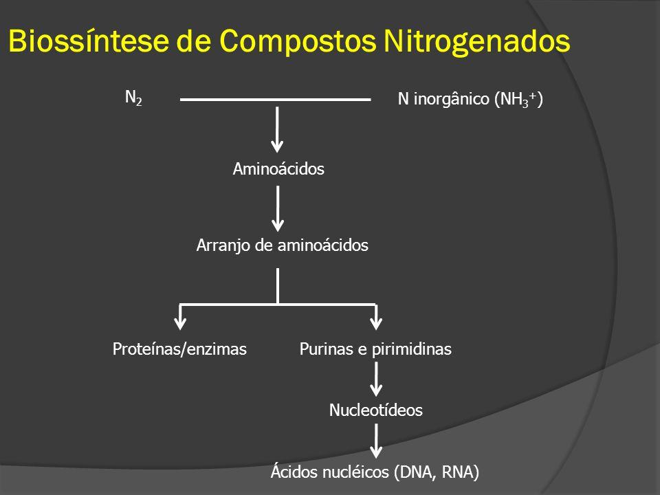 Biossíntese de Compostos Nitrogenados N2N2 N inorgânico (NH 3 + ) Aminoácidos Arranjo de aminoácidos Proteínas/enzimasPurinas e pirimidinas Nucleotíde