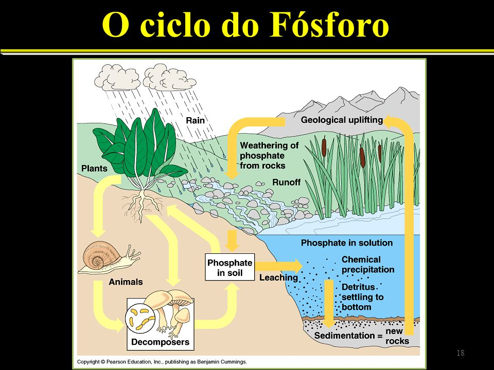 O ciclo do Fósforo 18
