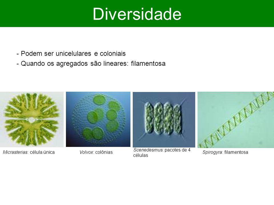 Diversidade - Podem ser unicelulares e coloniais - Quando os agregados são lineares: filamentosa Micrasterias: célula únicaSpirogyra: filamentosaVolvo
