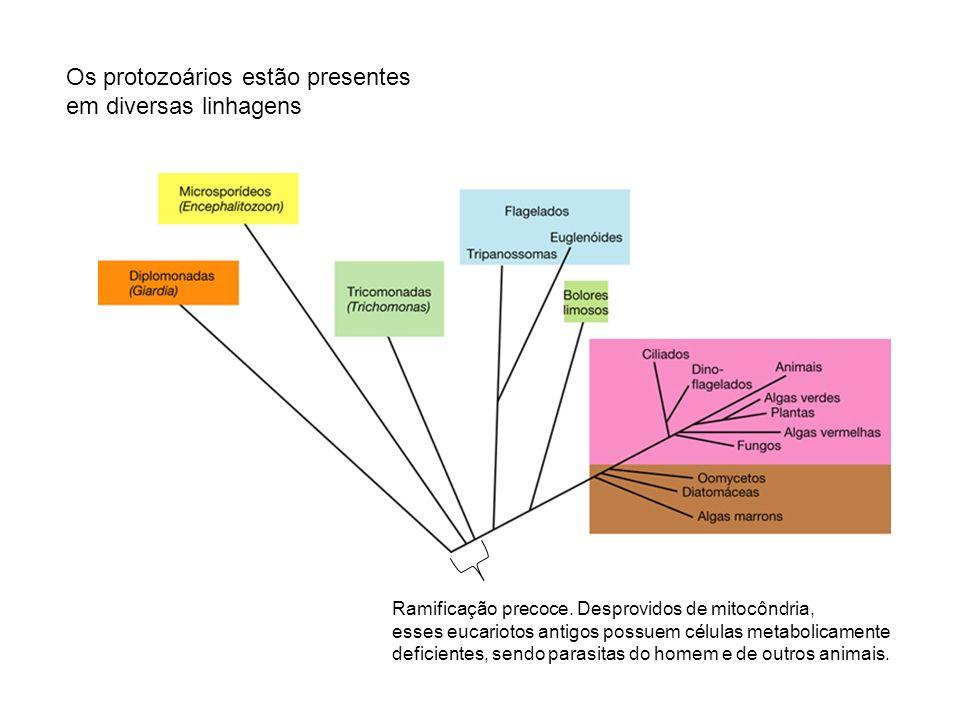 Os protozoários estão presentes em diversas linhagens Ramificação precoce. Desprovidos de mitocôndria, esses eucariotos antigos possuem células metabo