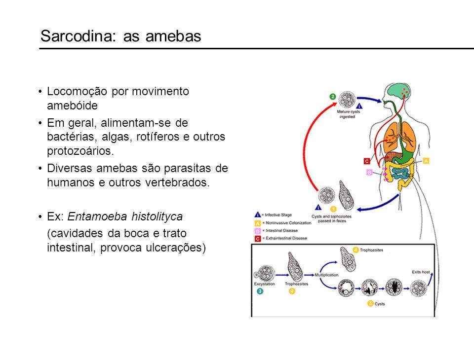 Sarcodina: as amebas Locomoção por movimento amebóide Em geral, alimentam-se de bactérias, algas, rotíferos e outros protozoários. Diversas amebas são