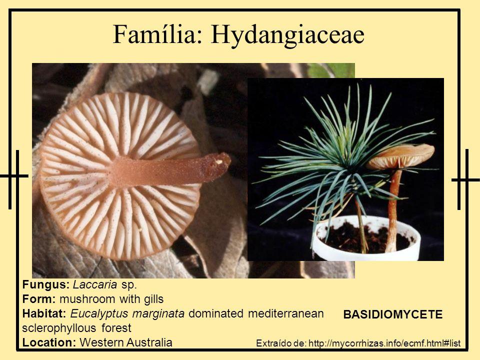 Família: Hydangiaceae Fungus: Laccaria sp. Form: mushroom with gills Habitat: Eucalyptus marginata dominated mediterranean sclerophyllous forest Locat