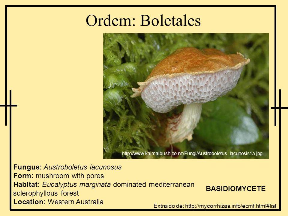 Ordem: Boletales Fungus: Austroboletus lacunosus Form: mushroom with pores Habitat: Eucalyptus marginata dominated mediterranean sclerophyllous forest