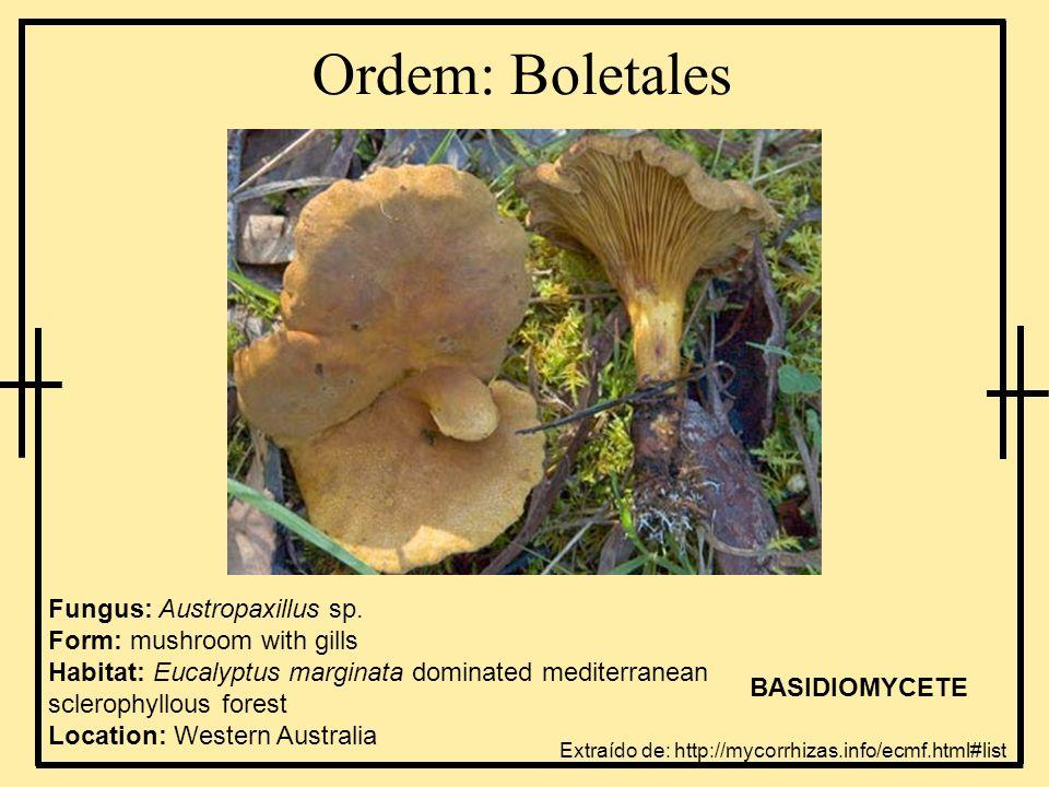 Ordem: Boletales Fungus: Austropaxillus sp. Form: mushroom with gills Habitat: Eucalyptus marginata dominated mediterranean sclerophyllous forest Loca