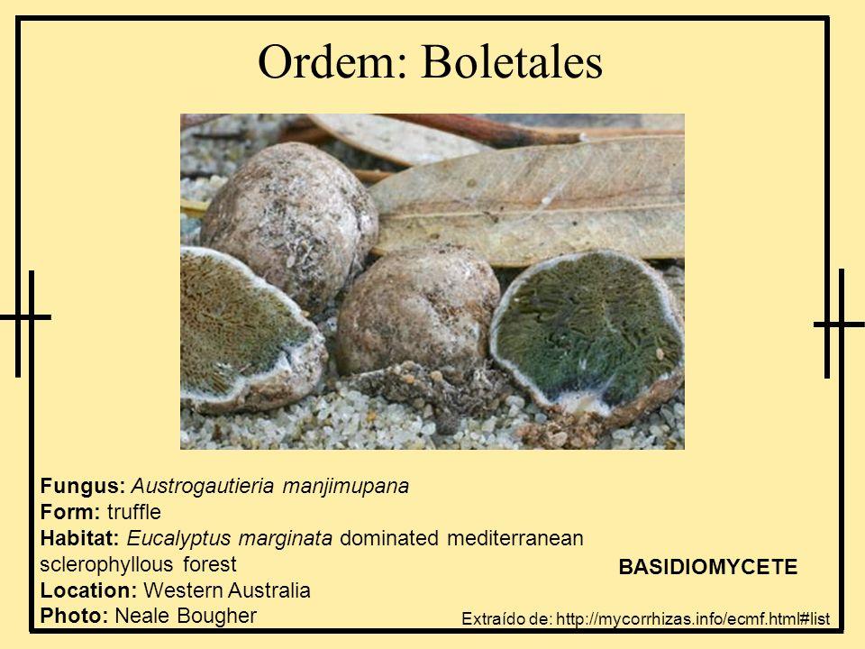 Ordem: Boletales Fungus: Austrogautieria manjimupana Form: truffle Habitat: Eucalyptus marginata dominated mediterranean sclerophyllous forest Locatio