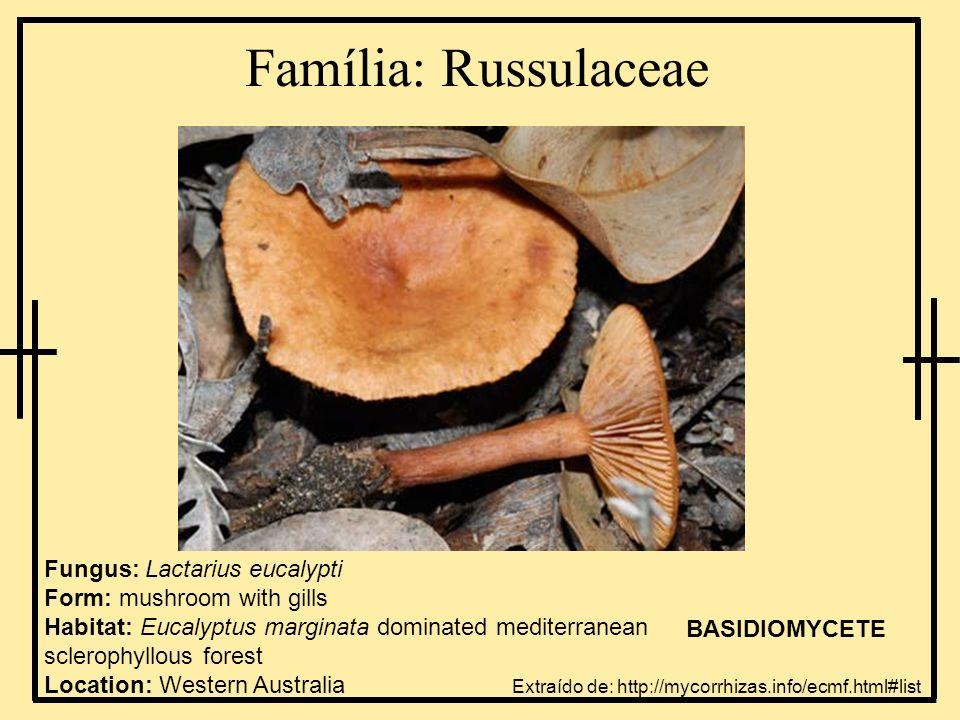 Família: Russulaceae Fungus: Lactarius eucalypti Form: mushroom with gills Habitat: Eucalyptus marginata dominated mediterranean sclerophyllous forest