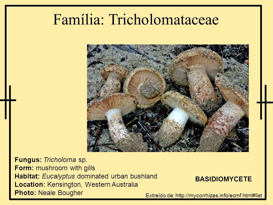 Família: Tricholomataceae Extraído de: http://mycorrhizas.info/ecmf.html#list Fungus: Tricholoma sp.