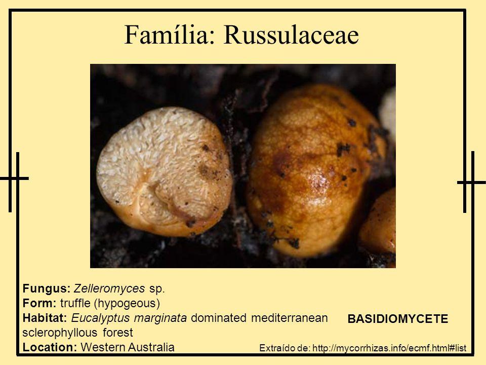 Família: Russulaceae Fungus: Zelleromyces sp. Form: truffle (hypogeous) Habitat: Eucalyptus marginata dominated mediterranean sclerophyllous forest Lo