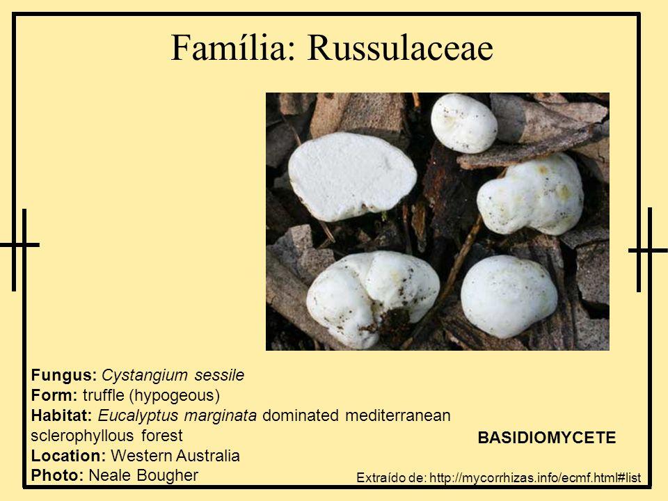 Família: Russulaceae Fungus: Cystangium sessile Form: truffle (hypogeous) Habitat: Eucalyptus marginata dominated mediterranean sclerophyllous forest