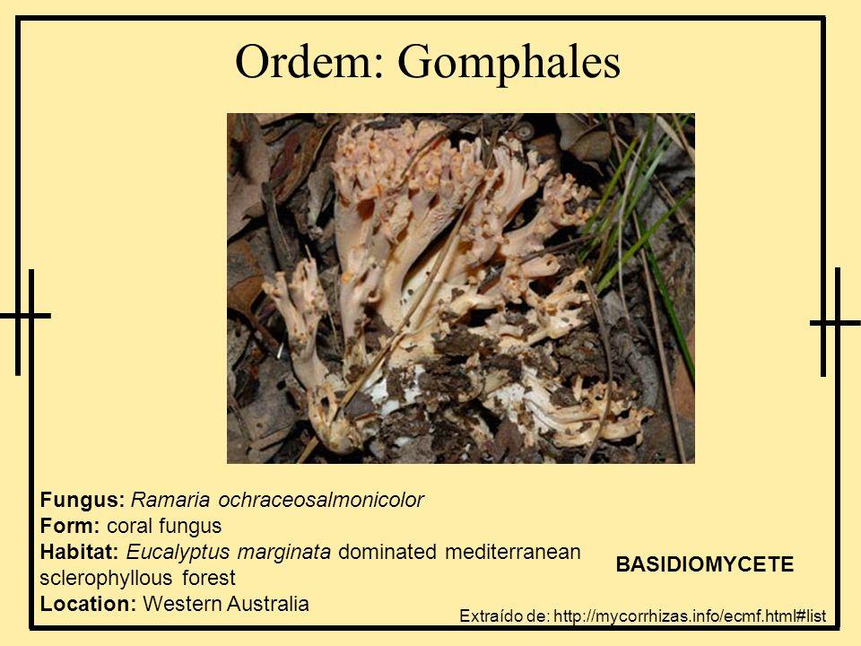 Ordem: Gomphales Fungus: Ramaria ochraceosalmonicolor Form: coral fungus Habitat: Eucalyptus marginata dominated mediterranean sclerophyllous forest L