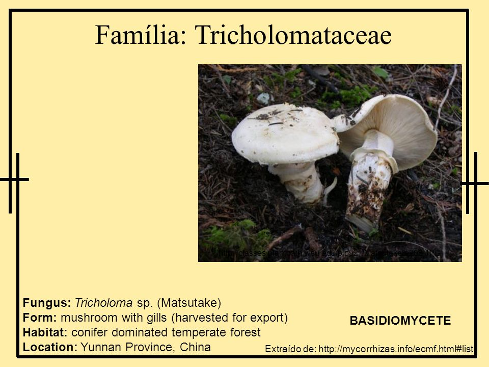 Família: Tricholomataceae Extraído de: http://mycorrhizas.info/ecmf.html#list Fungus: Tricholoma sp. (Matsutake) Form: mushroom with gills (harvested