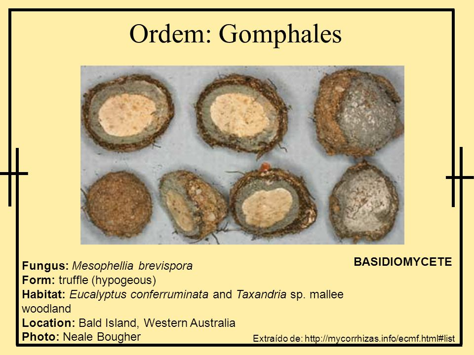 Ordem: Gomphales Fungus: Mesophellia brevispora Form: truffle (hypogeous) Habitat: Eucalyptus conferruminata and Taxandria sp. mallee woodland Locatio