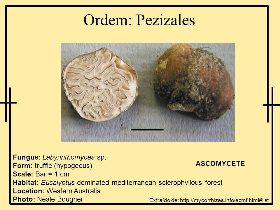 Ordem: Pezizales Fungus: Labyrinthomyces sp. Form: truffle (hypogeous) Scale: Bar = 1 cm Habitat: Eucalyptus dominated mediterranean sclerophyllous fo