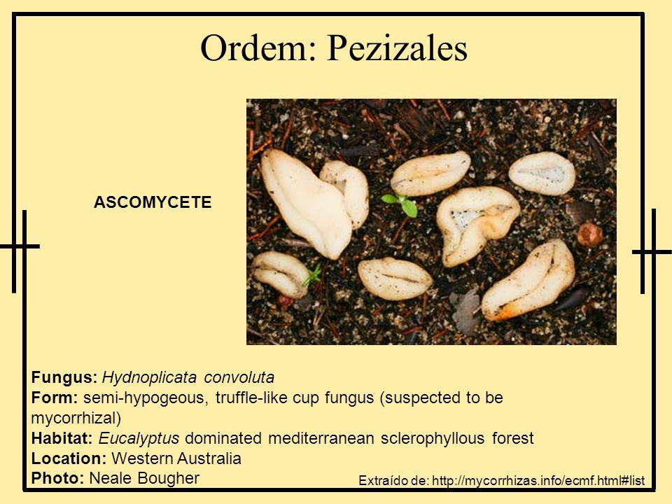 Ordem: Pezizales Fungus: Hydnoplicata convoluta Form: semi-hypogeous, truffle-like cup fungus (suspected to be mycorrhizal) Habitat: Eucalyptus domina
