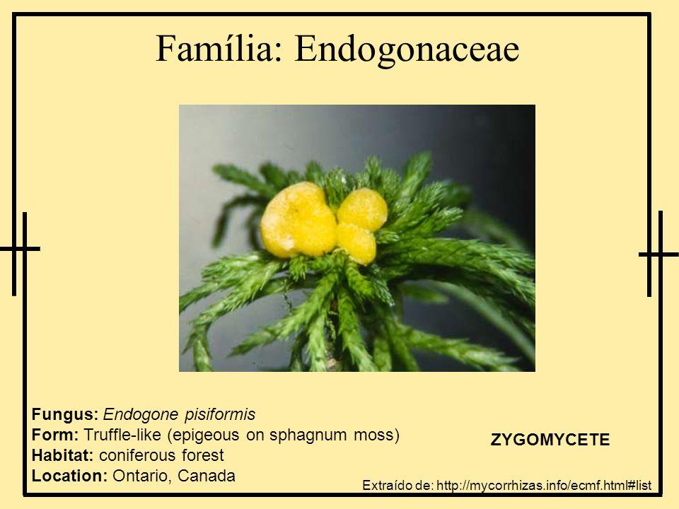 Família: Endogonaceae Fungus: Endogone pisiformis Form: Truffle-like (epigeous on sphagnum moss) Habitat: coniferous forest Location: Ontario, Canada