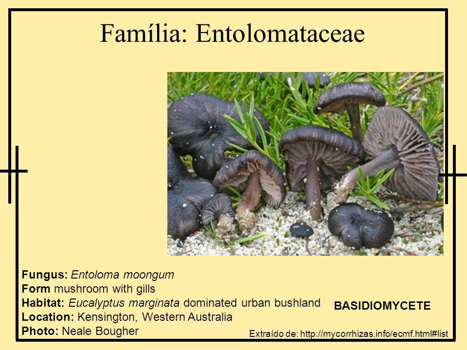 Família: Amanitaceae Fungus: Amanita carneiphylla Form: mushroom with gills Habitat: Eucalyptus dominated woodland Location: urban bushland, Perth, Western Australia Photo: Neale Bougher BASIDIOMYCETE Extraído de: http://mycorrhizas.info/ecmf.html#list