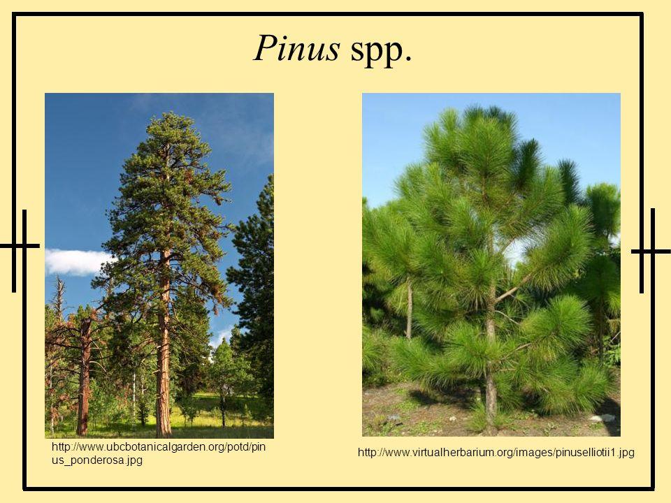 Pinus spp. http://www.ubcbotanicalgarden.org/potd/pin us_ponderosa.jpg http://www.virtualherbarium.org/images/pinuselliotii1.jpg