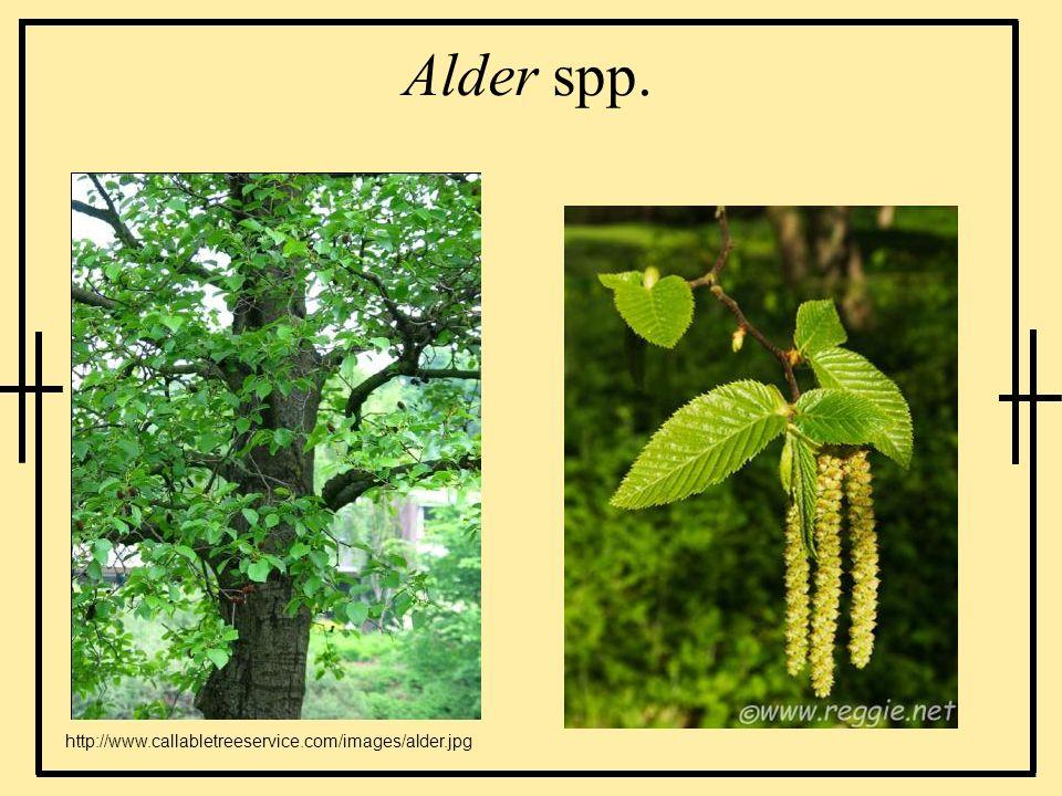 Alder spp. http://www.callabletreeservice.com/images/alder.jpg