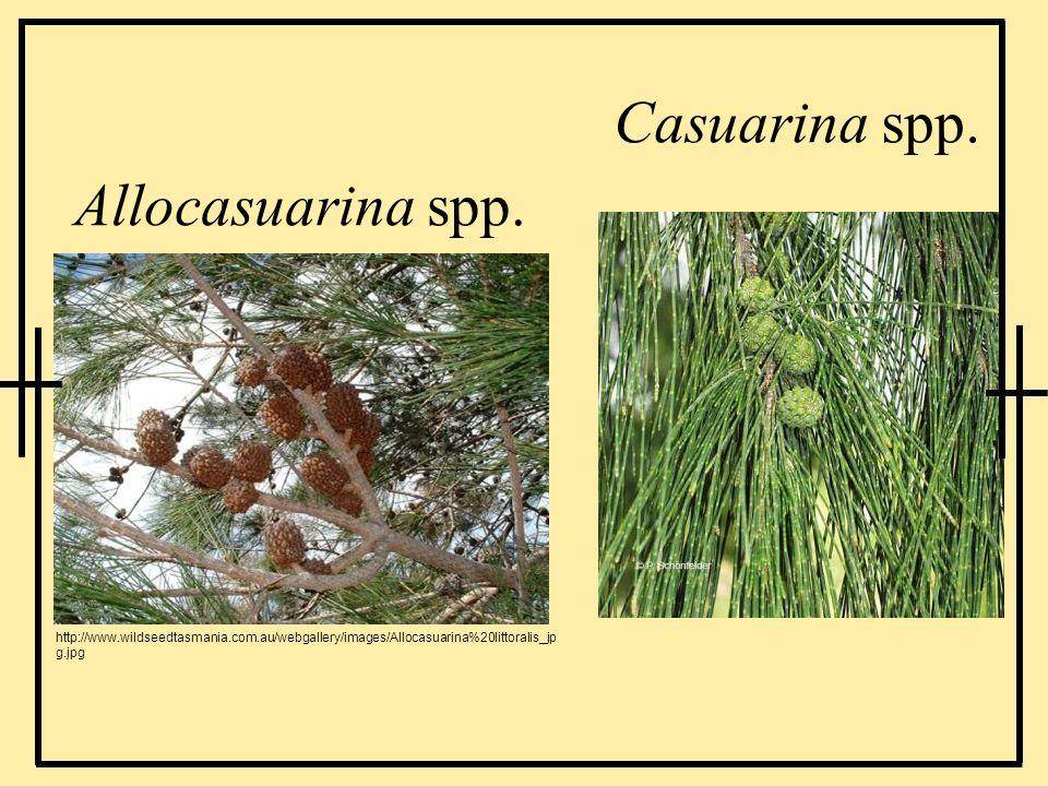 Casuarina spp. Allocasuarina spp. http://www.wildseedtasmania.com.au/webgallery/images/Allocasuarina%20littoralis_jp g.jpg