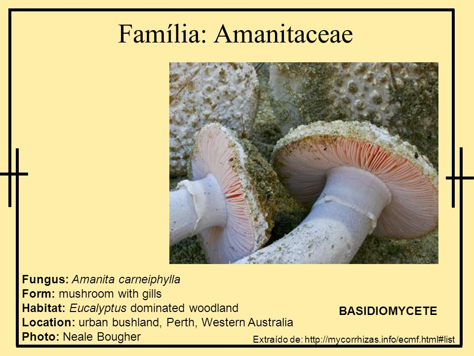 Ordem: Gomphales Fungus: Hydnum repandum Form: tooth fungus (mushroom-like) Habitat: Eucalyptus dominated mediterranean sclerophyllous forest Location:Augusta, Western Australia http://www.nifg.org.uk/species/photos/Hydnum_repandum2.jpg http://www.mykoweb.com/CAF/photos/Hydnum_repandum(bk-01).jpg BASIDIOMYCETE Extraído de: http://mycorrhizas.info/ecmf.html#list