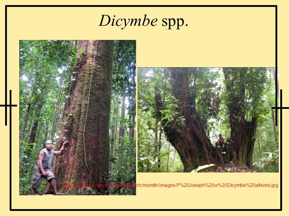 Dicymbe spp. http://www.huh.harvard.edu/research/msmith/images/P%20Joseph%20w%20Dicymbe%20altsonii.jpg